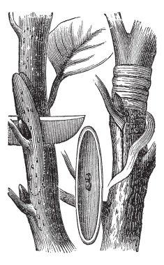 Budding, vintage engraving