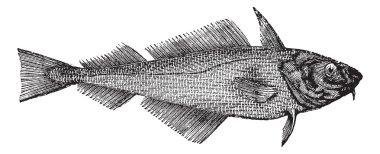 Haddock or Offshore Hake or Melanogrammus aeglefinus, vintage en