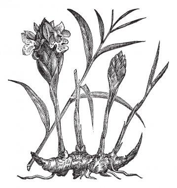 Zingiber officinale or Common Ginger vintage engraving
