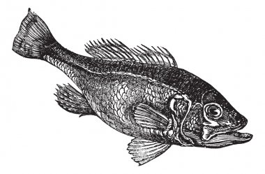 Largemouth bass (Micropterus salmoides) or widemouth bass vintag