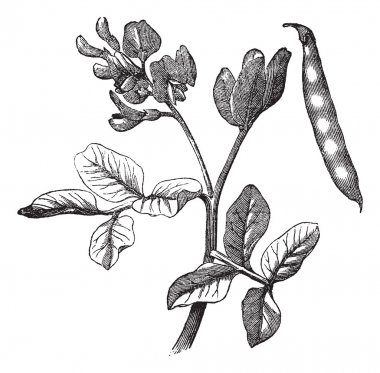 Common bean (Phaseolus vulgaris) vintage engraving