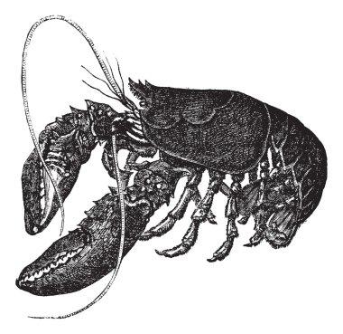 Common lobster or Homarus gammarus vintage engraving