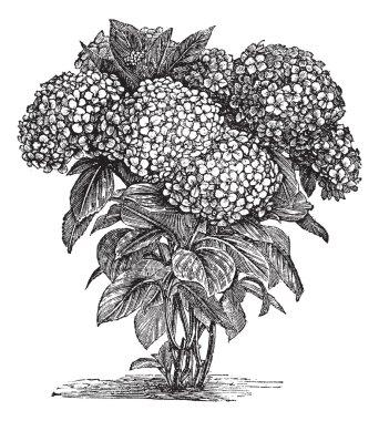 Bigleaf Hydrangea or Hydrangea macrophylla vintage engraving