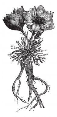 Lewisia rediviva or bitterroot, vintage engraving