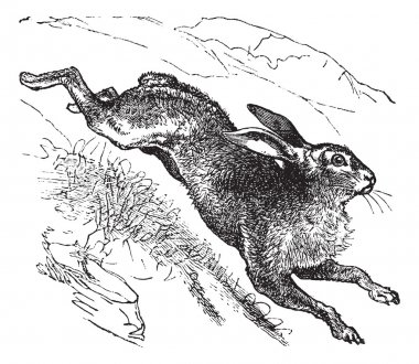 Mountain Hare (Lepus timidus) or Blue Hare vintage engraving