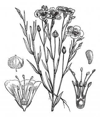 Common flax or Linseed vintage engraving