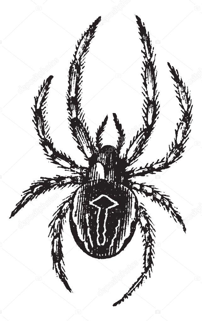 araña Orbe-tejer común o común SP. epeira o araneus, vinta — Vector ...