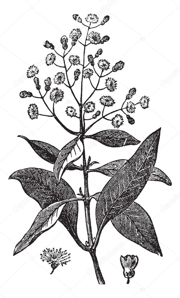 Allspice or Jamaica Pepper or Kurundu or Myrtle Pepper or Piment