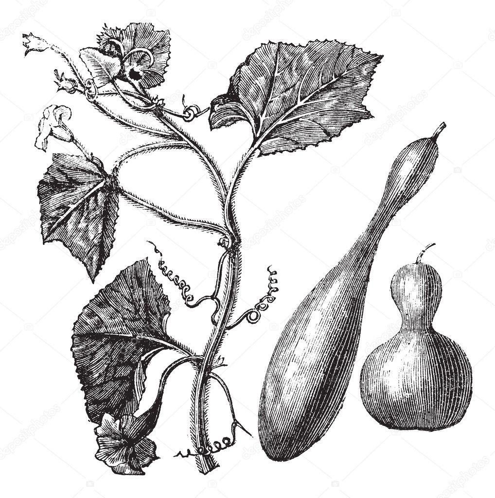 Calabash or Lagenaria vulgaris vintage engraving