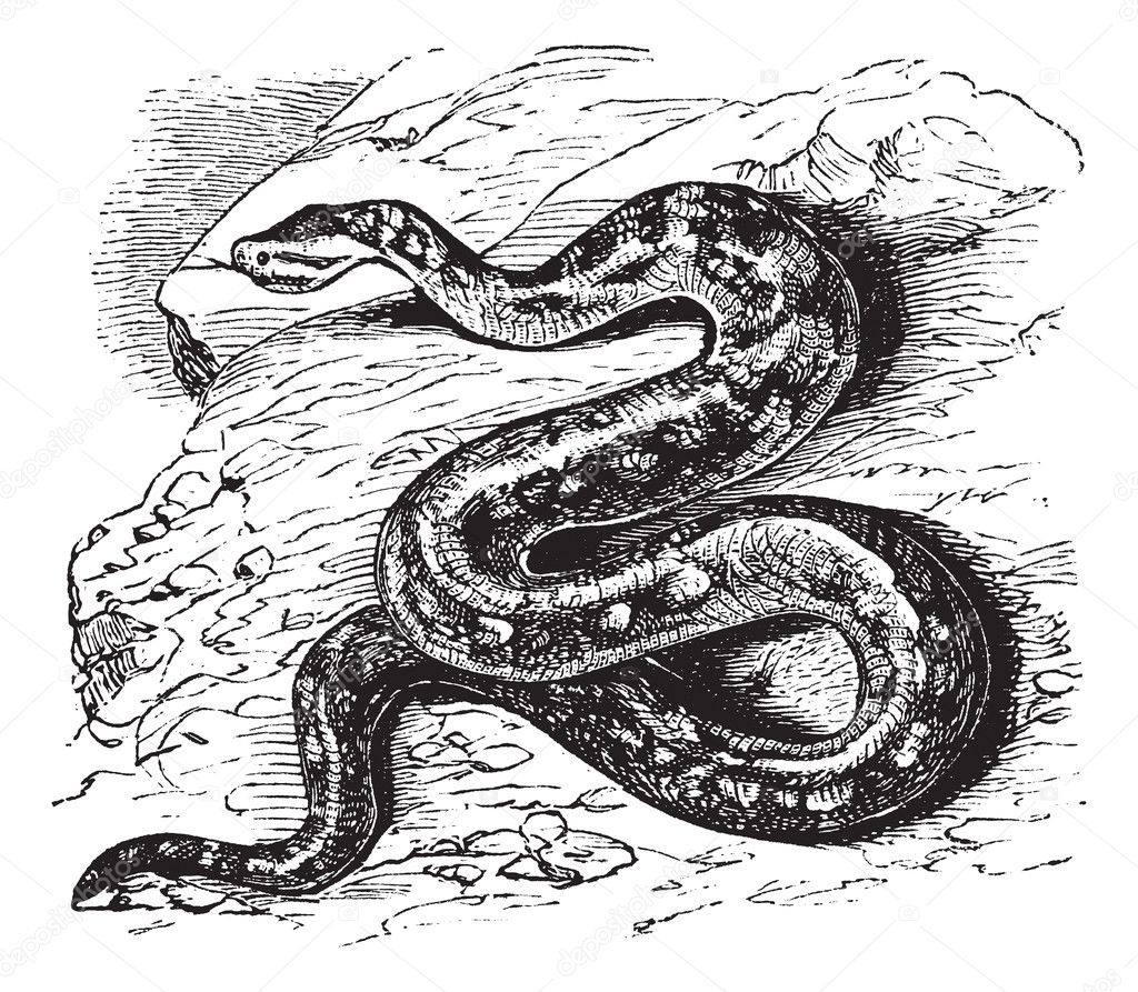 Drawing Lines Using Python : Natal rock python or sebae natalensis vintage