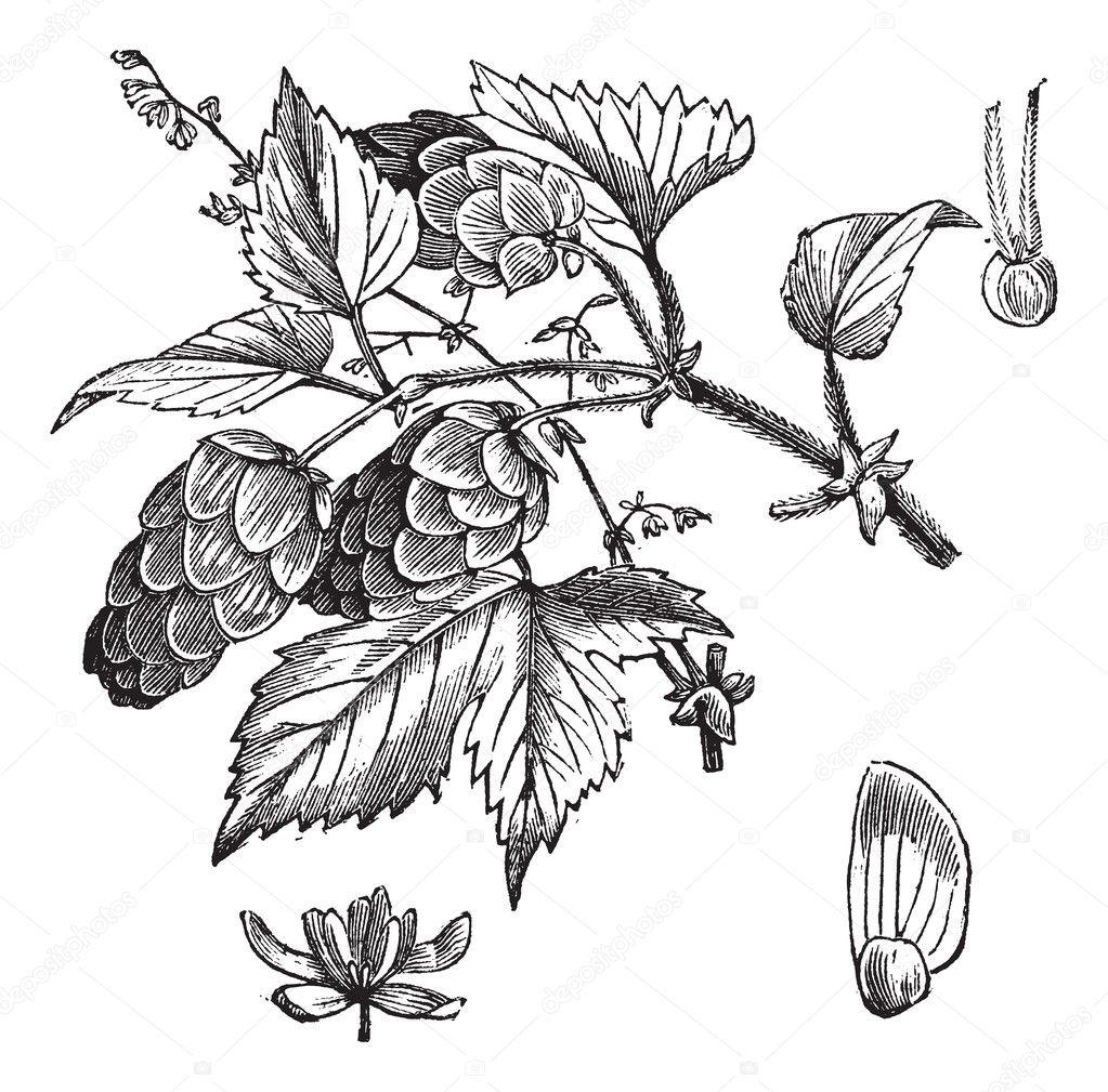 Common hop or Humulus lupulus vintage engraving