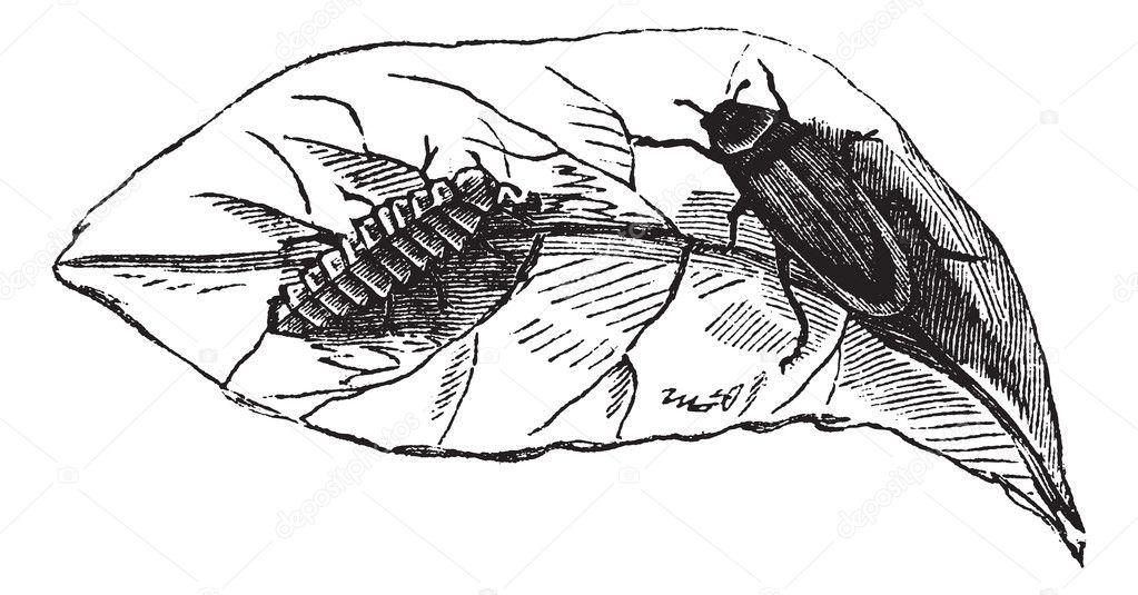 Glow worm (Lampyris Noctiluca) on leaf vintage engraving