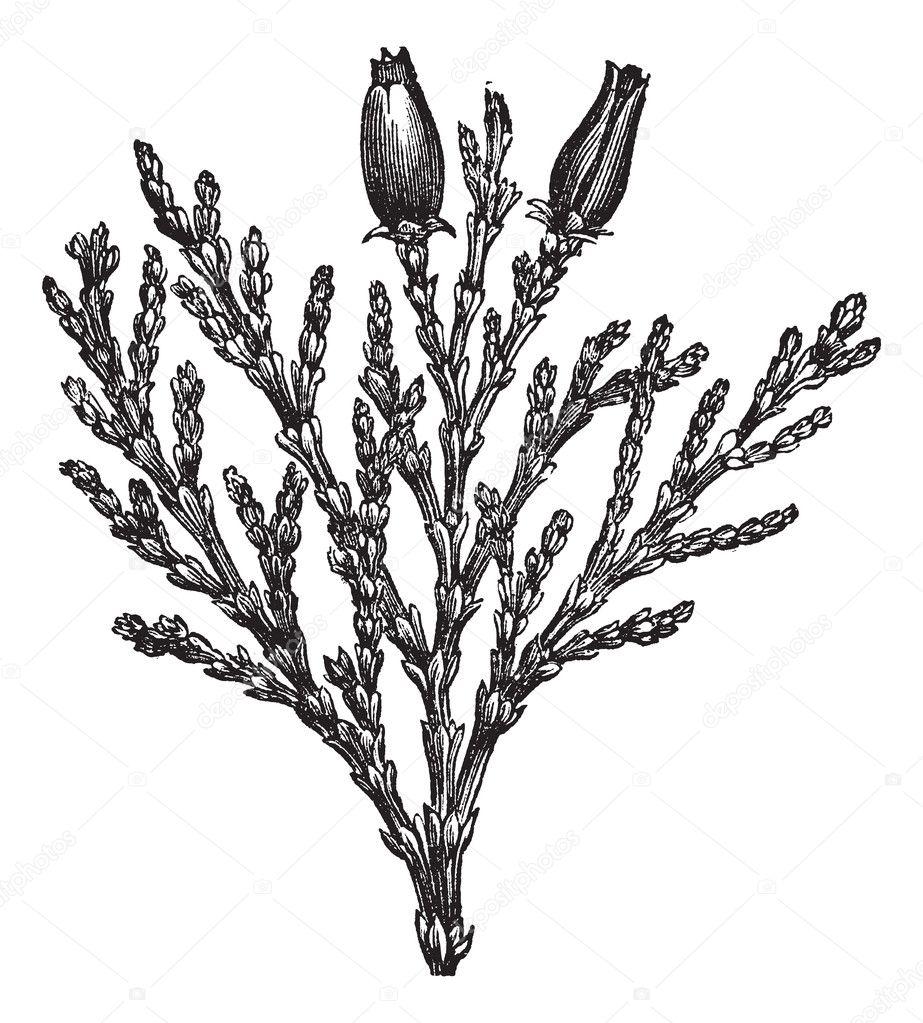 Calocedrus or Libocedrus decurrens vintage engraving