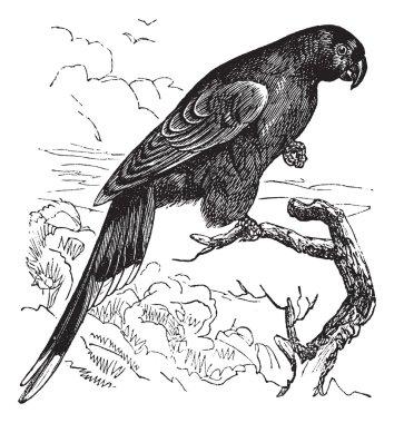 Papuan Lorikeet or Charmosyna papou vintage engraving