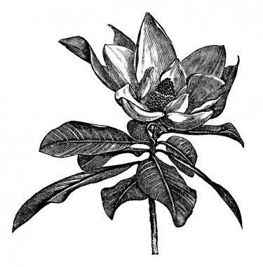 Southern magnolia or Magnolia grandiflora vintage engraving