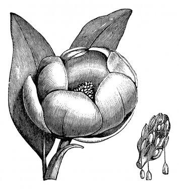 Sweetbay magnolia or Magnolia virginiana vintage engraving