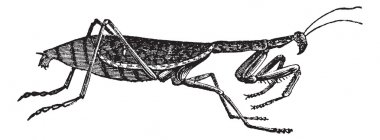 European Mantis or Mantis religiosa vintage engraving