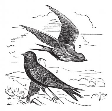 Common Swift or Apus apus vintage engraving