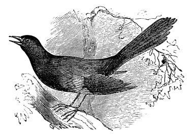 Mocking the carolina (Mimus carolinensis), vintage engraving