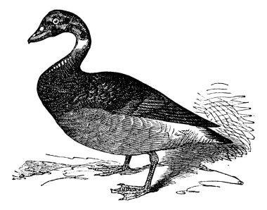 The Brent Goose or Branta Bernicla, vintage engraving