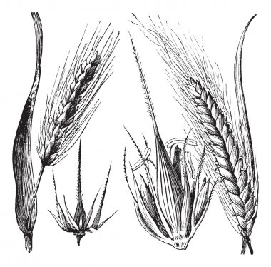 Common barley or Hordeum vulgare, Barley hinge or Hordeum distic