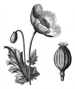 Opium Poppy or Papaver somniferum, vintage engraving