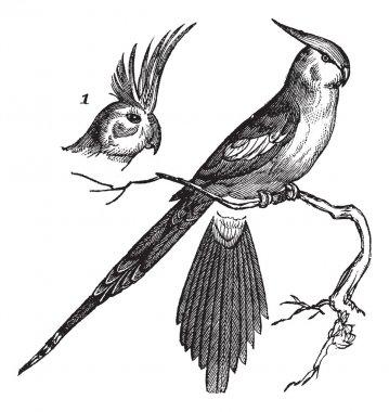Cockatiel or Quarrion or Weiro or Nymphicus hollandicus, vintage