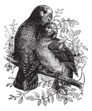 Rose-ringed Parakeet or Ringnecked Parakeet or Psittacula kramer