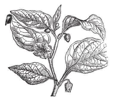 Physalide Peru (Physalis peruviana), vintage engraving.