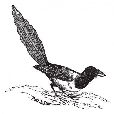Black-billed Magpie (Pica hudsonia), vintage engraving.