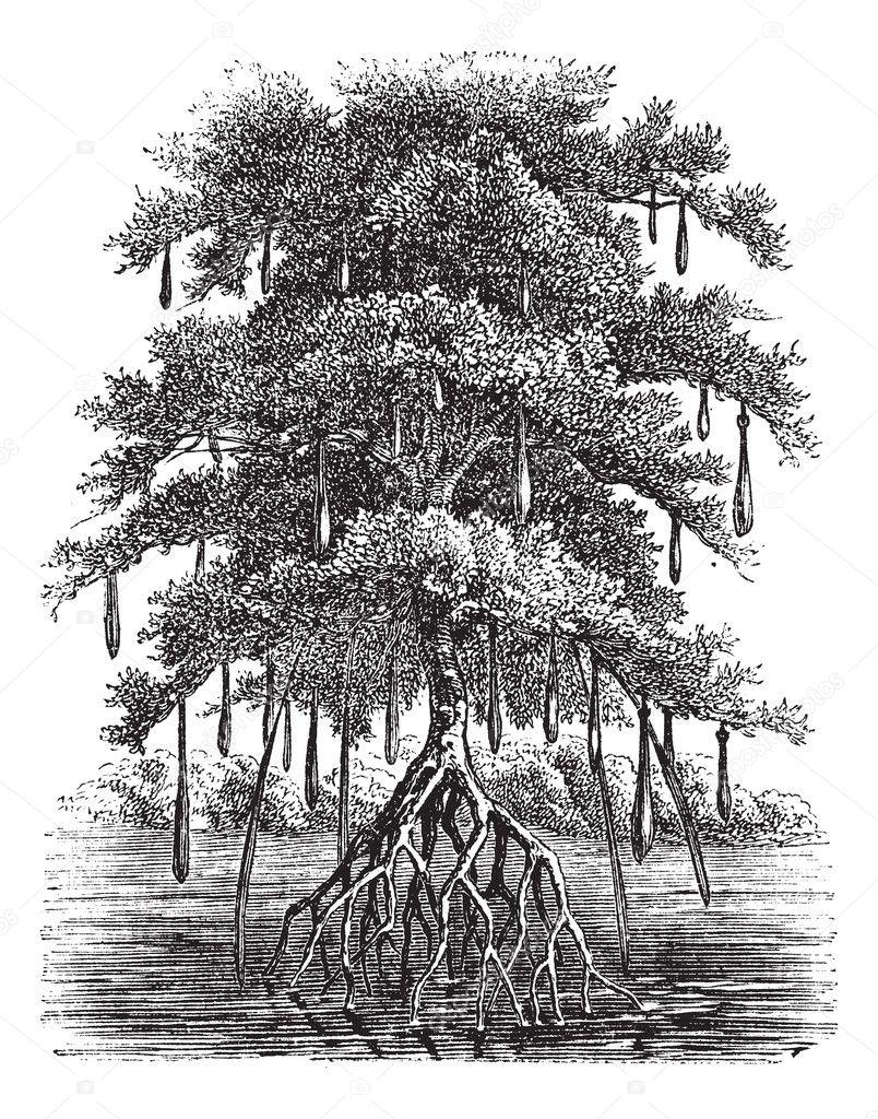 Mangrove or Mangal vintage engraving