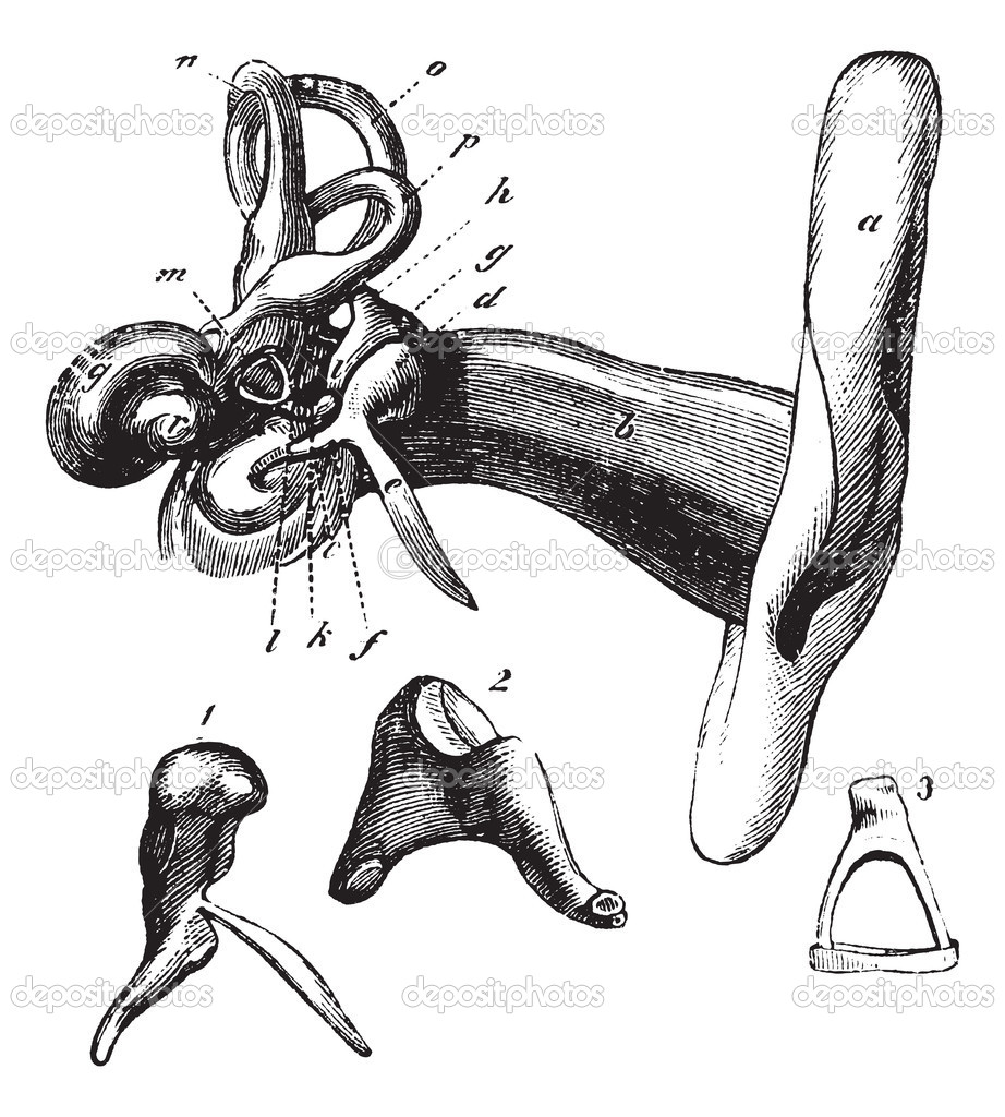 Human ear anatomy. vintage engraving — Stock Vector © Morphart #6755785