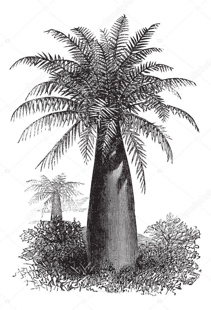 palma chilena vino o jubaea chilensis, vintage grabado — Archivo ...