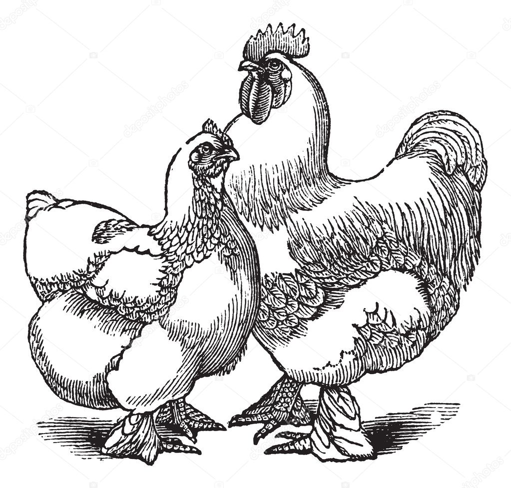 Gallina y gallo Cochin o Cochin China (pollo) ingr vintage — Archivo ...