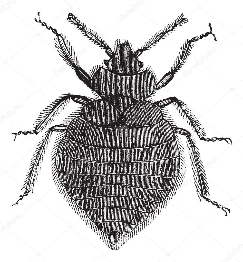 Bed bugs (Cimex lectularius) or Cimicidae, vintage engraving.