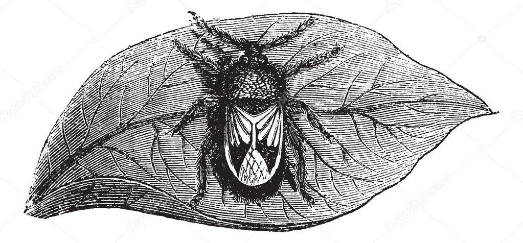 Rhyparochromidae or Seed bug vintage engraving