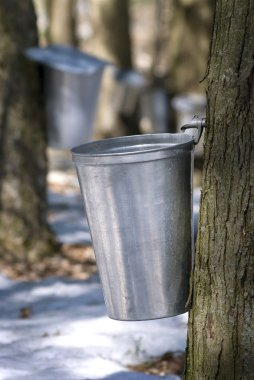 Droplet of sap flowing from the maple tree into a pail for make pure maple