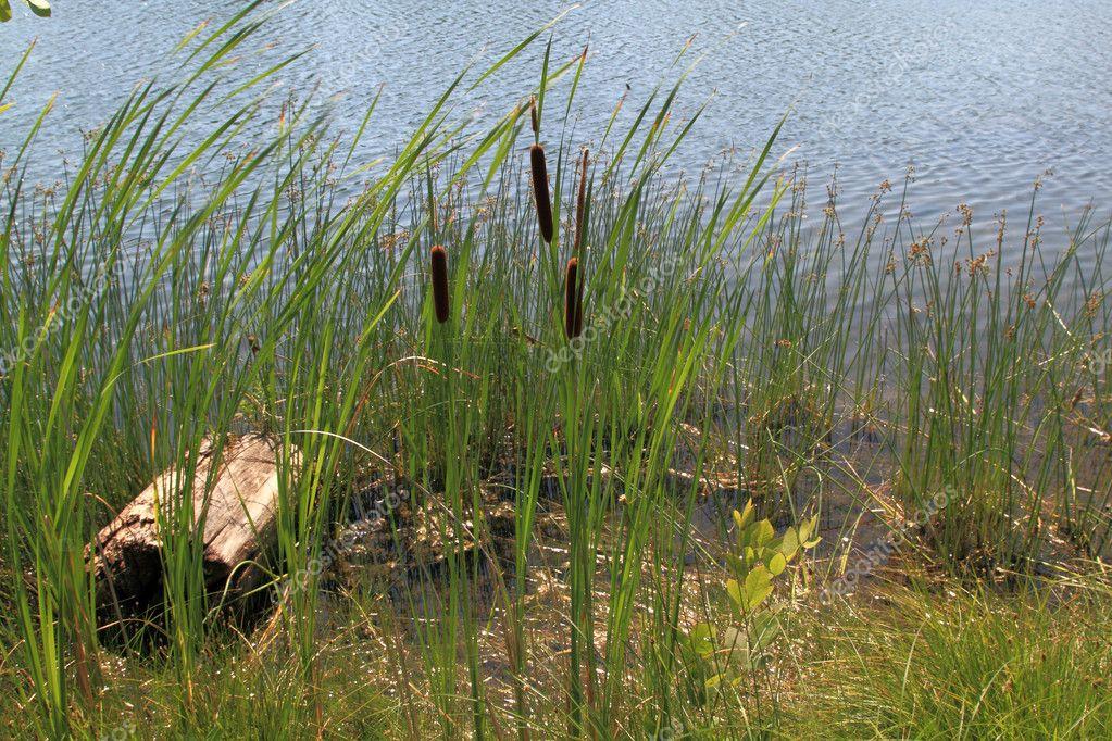 plantes qui poussent sur les rives du lac et dans l 39 eau photographie morning light 6104346. Black Bedroom Furniture Sets. Home Design Ideas