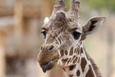 žirafa s vyplazeným jazykem