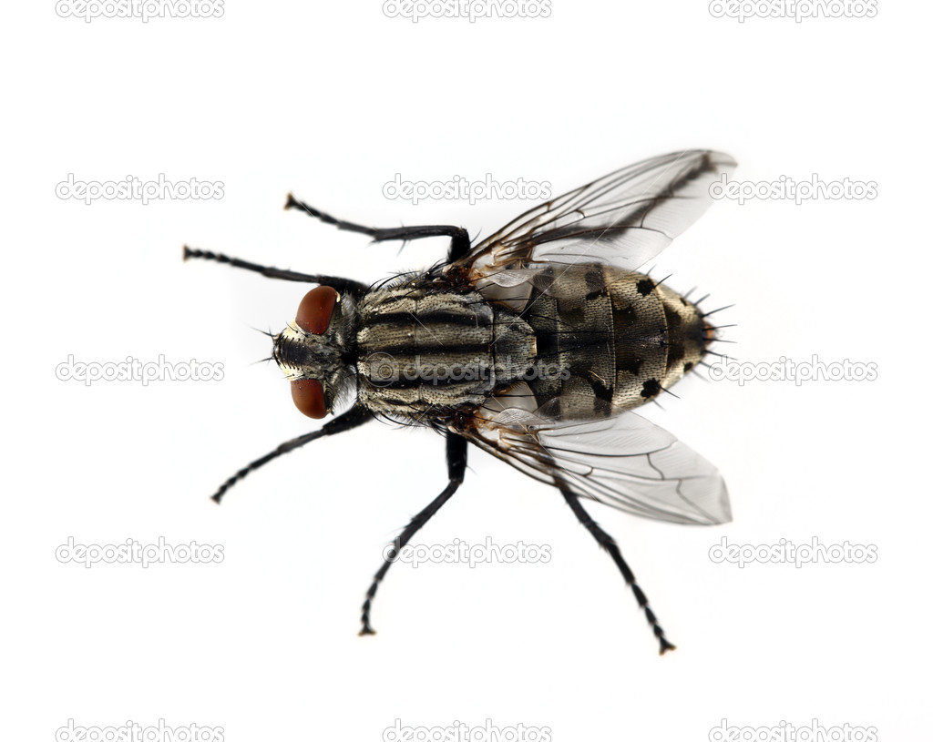Isolated House Fly