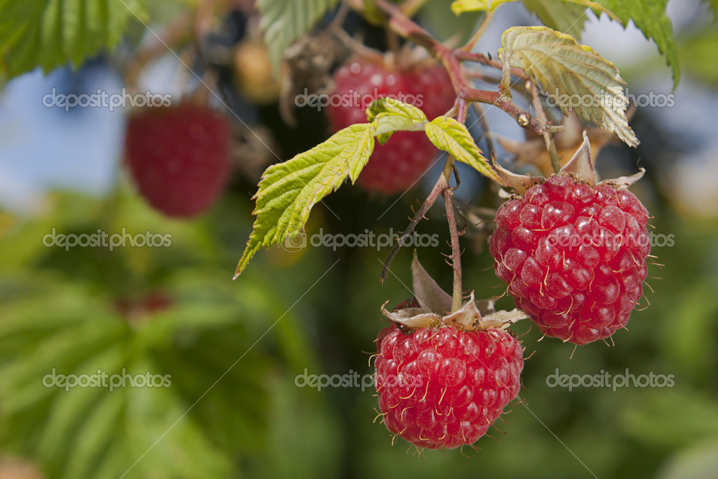 Raspberries growing on a bush