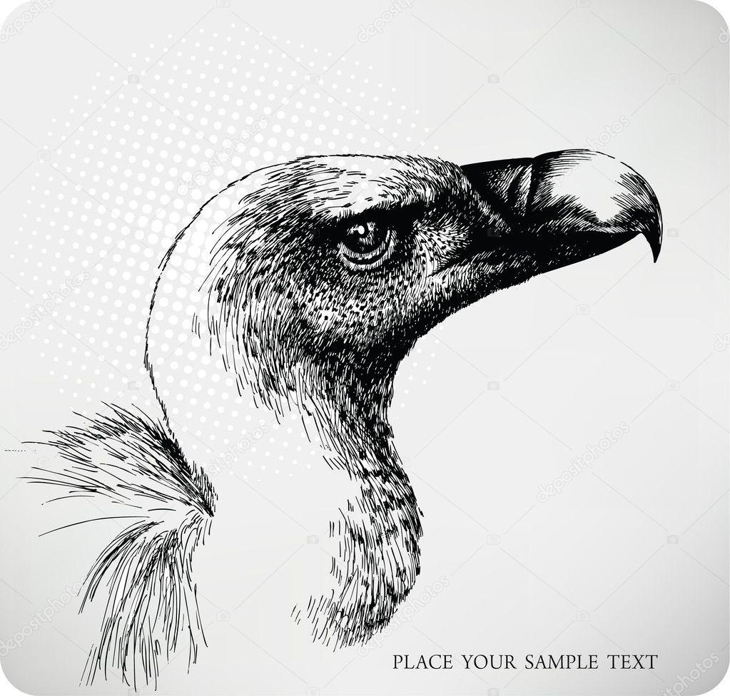 Griffon Vulture hand drawn