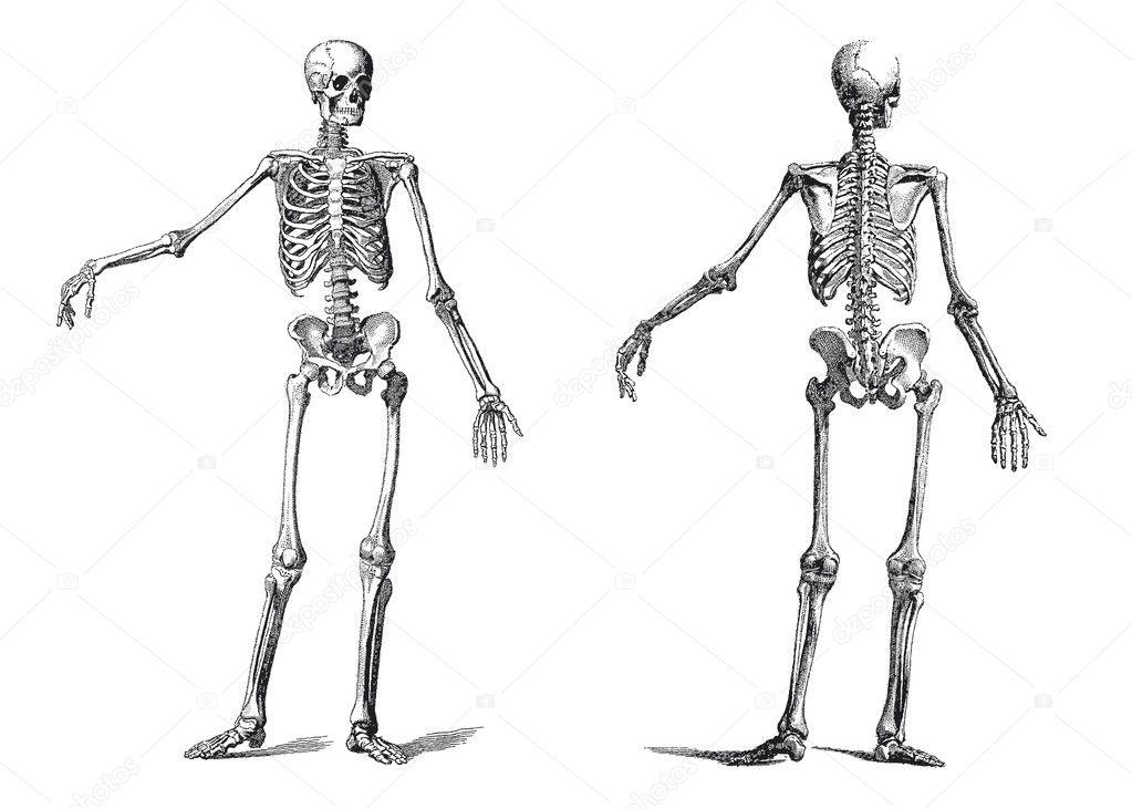 Human skeleton vintage nineteenth century engraving