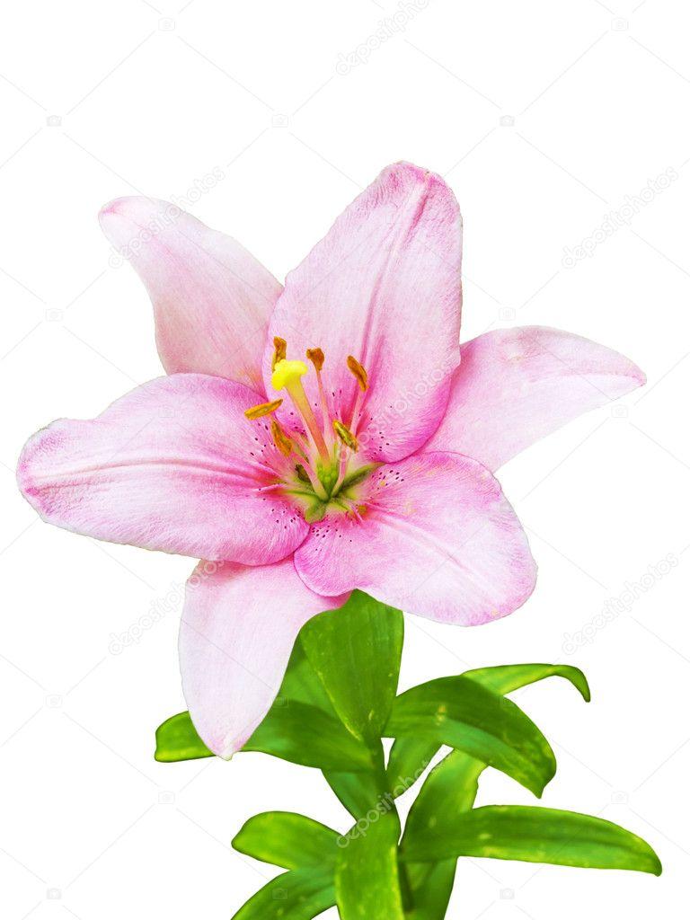 Royal Lily Flower Stock Photo Plus69 6046625