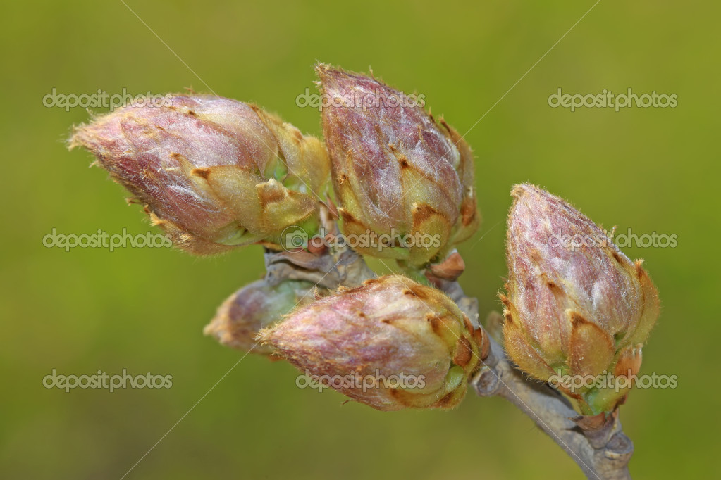 Images Wisteria Flower Buds Wisteria Flowers Bud Stock Photo