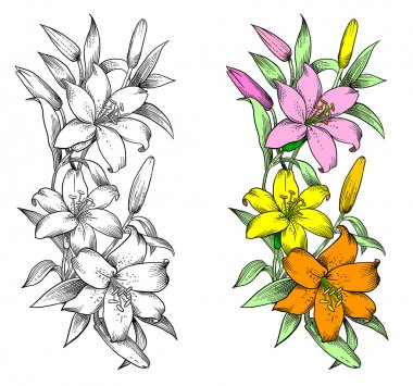 Vector lily flower, engraving stylization.