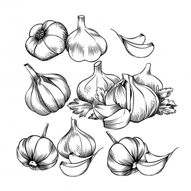 Vector garlic, engraving stylization.