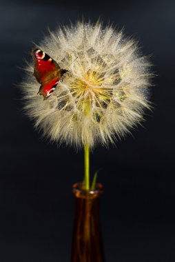 Beautiful dandelion with red butterfly on the black background