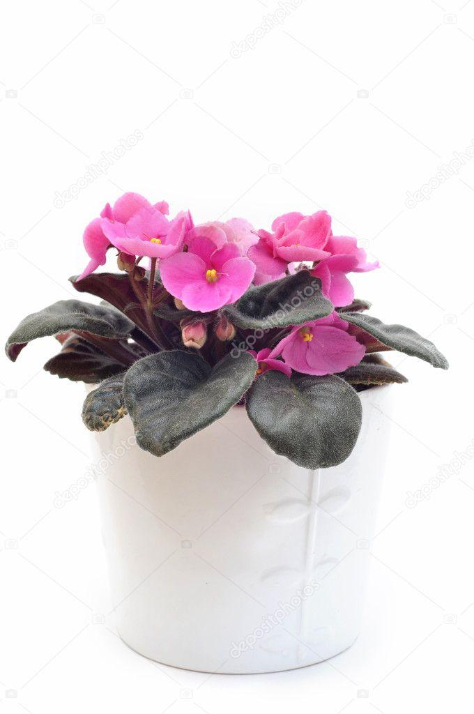 Pink Saintpaulia African Violet