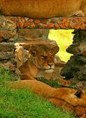 Photo Portrait of wild lion